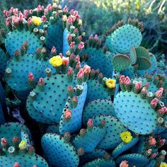 desert, cacti, blue, color, growing up, pears, flowers, cactus, botanical gardens