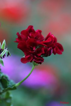 ~~Carmine mirage ~ geranium by meletver~~ Gee -- is this Pretty!!!!!