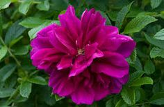 Image result for rosa rugosa