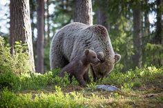 Valokuvaharrastaja otti liikuttavia karhukuvia Suomussalmella – karhunpentu kurkistaa suoraan kuvauspiiloon - Kotimaa - Ilta-Sanomat