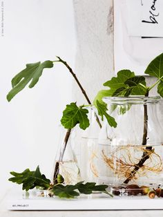 BEGÄRLIG vas, ENSIDIG vas samt VÅRVIND vaser set om 2. Att låta ekollon slå rot i vatten kräver lite uthållighet, men värt mödan när de små ollonen till sist börjar gro. Bästa tiden att plocka dem är i september så passa på att samla in till höstens projekt.
