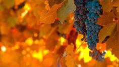Виноград и листва
