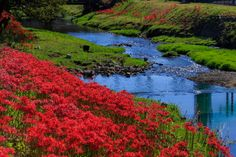 真野川沿いの彼岸花(滋賀県大津市堅田) : 花景色-K.W.C. PhotoBlog