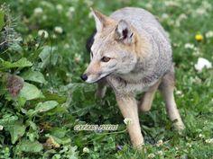 Zorro gris Usuhaia Fox, Gray, Animales, Foxes, Red Fox