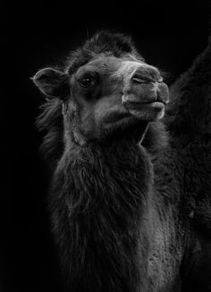 Well it's a camel! However what strikes me every time I see these are their eyes, they are so beautiful! Wanted to do this in a real dark b/w and, of course, on black! Animals Black And White, Black And White Pictures, Camel Tattoo, Animals Beautiful, Cute Animals, Bactrian Camel, Lovely Creatures, Creature Feature, Photo Black
