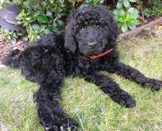 Zoe the Goldendoodle Pictures
