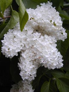 white lilacs - I will totally have these in centerpieces - my favorite smell, and without the purple is great!