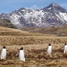 Penguins taking a hike on South Georgia Island. Photo by @captainmaji. #traveldeeper by afarmedia