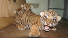The newly remodeled Peoria Zoo just welcomed the birth of four Tiger cubs!