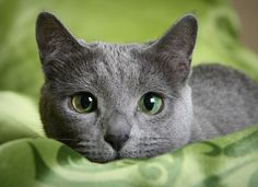 Learn everything about Russian Blue Cats. Find all Russian Blue Cat Breed Information, pictures of Russian Blue Cats, training, photos and care tips. Blue Cats, Grey Cats, Most Beautiful Cat Breeds, Beautiful Cats, Hypoallergenic Cats, Balinese Cat, Gatos Cat, Cat Skin, Cat Allergies