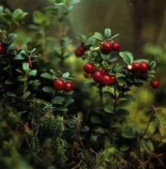 Брусника, Фото: Дельвин Н.Н. (биосферный заповедник Окский)