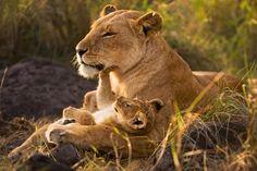 Lion Mother and Cub Panthera leo Masai Mara National Reserve, Kenya Anup Shah, Bushey, Hertsfordshire, UK Lion Love, Cat Love, Beautiful Lion, Animals Beautiful, Beautiful Family, Cute Baby Animals, Animals And Pets, Lion And Lioness, Lion Pictures