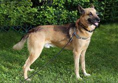 Dog on leash (not chain) in backyard.