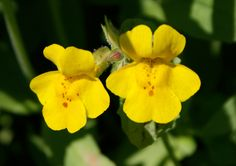 The Common Monkey Flower (Mimulus guttatus) is an Oregon Native Wildflower