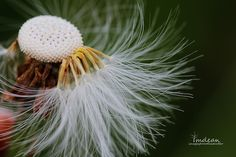 coltsfoot - 002