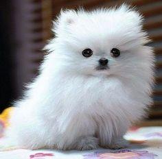 Fluffy Pomeranian Puppy!