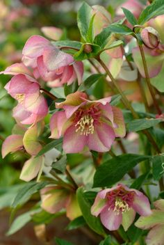 Hellebores (Lenten Rose) A must have for any garden. There is a variety which produces light green flowers - very pretty and unusual. Shade Garden Plants, Garden Shrubs, Shrubs For Shade, Plants For Shade, Green Flowers, Beautiful Flowers, Beautiful Gorgeous, Lenten Rose, Christmas Rose