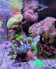 Click this image to show the full-size version. Saltwater Aquarium Beginner, Saltwater Aquarium Fish, Saltwater Tank, Coral Reef Aquarium, Sea Aquarium, Marine Aquarium, Nano Reef Tank, Reef Tanks, Fish Tank Sizes