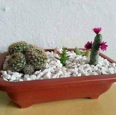 Um ótimo dia!  Un buen dia! Cactus que encantam a casa e seu dia!   Estamos nos preparando para gravar nosso primeiro vídeo...acompanha aqui! #Cactus #verde #jardim #hortas #hortaemcasa #hortasuspensa #jardimsuspenso #biologos #paisagismo #amoplantas #plantaterapia #suculentas #sustentabilidade by evolucaonatural http://ift.tt/1YYVcrs