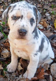 Baby Leopard the Catahoula Leopard Dog / Mixed (medium coat) Picture