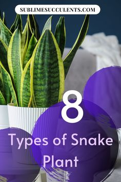 Whether you already have Snake Plants in your collection, or are considering your options, you have plenty of plants to choose from. Here are Sansevieria types that every Snake Plant lover should consider. Flowering Succulents, Growing Succulents, Cacti And Succulents, Succulent Planter Diy, Succulent Care, Succulent Species, Sansevieria Plant, Types Of Snake, Cactus Care