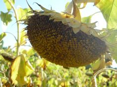Sunflowers Make You Smile, Sunflowers, My Photos, Make It Yourself, Autumn, My Favorite Things, Fruit, Garden, How To Make