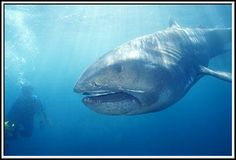 The megamouth shark is an extremely rare species of deepwater shark, and the smallest of the three planktivorous sharks besides the whale shark and basking shark.