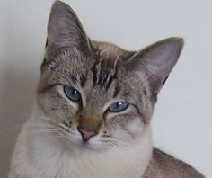 Lilac Point Siamese Cats | ... to get a lynx point kitten, one of the parents has to be a lynx point