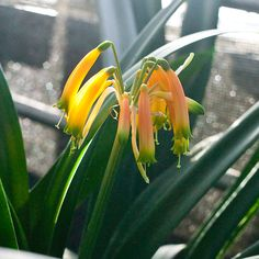 Photographs from Colorado Clivia Company's collection of Clivia robusta and gardenii in bloom during the fall of Colorado, Bloom, Lily, Everton, Plants, Number, Aspen Colorado, Lilies, Planters