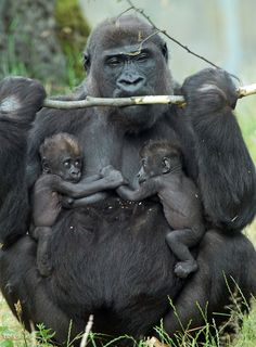 [Mom gorilla with twins. She will never sleep again [Mom gorilla with twins. Primates, Mammals, Gorilla Gorilla, Nature Animals, Animals And Pets, Strange Animals, Animals Images, Beautiful Creatures, Animals Beautiful