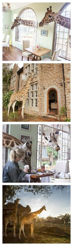 Giraffe Manor, which might be one of the most unique hotels in the world, lets you do both — and a leetle bit extra. Located on twelve acres of private land within a 140-acre forest on the outskirts of Nairobi, Kenya, the boutique property feels perfectly enchanting.