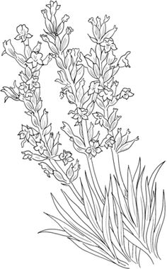 Click to see printable version of Lavandula Angustifolia or Common Lavender coloring page