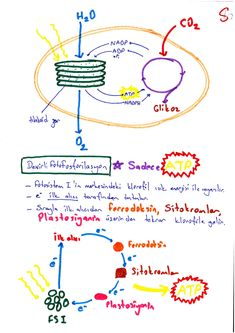 Renkli Ders Notu / Fotosentez Photosynthesis, Biology, Everything, Medical, Notes, Study, Thoughts, Education, Math
