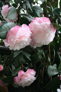 Camellia japonica 'Nuccio's Pearl' ~ U.S 1973