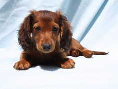 long haired doxie lounging in the sun #cute #dachshund