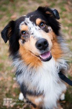1000+ images about Australian Shepherd on Pinterest ...