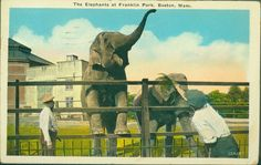 The elephants at Franklin Park, Boston, Mass. | General photographic collection (PC001) -- Historic New England