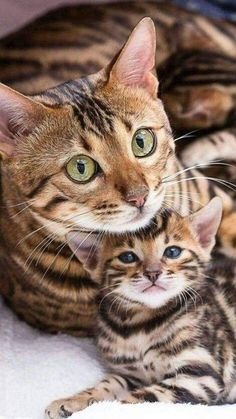 Mama Tabby & her mini me baby. Mama Tabby & her mini me baby.You can find Tabby cats and more on our website.Mama Tabby & her mini me baby. Mama Tabby & her mini me baby. Cute Cats And Kittens, I Love Cats, Crazy Cats, Kittens Cutest, Pretty Cats, Beautiful Cats, Animals Beautiful, Bb Chat, Image Chat