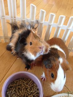 Guinea pigs having floor time !