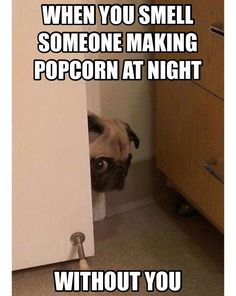 Pug: it's popcorn time! Oh there marking it without me . POPCORN HERE I COME! More