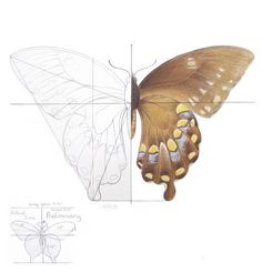 Symmetrical Design / Balance Butterfly Study by CathyStephens Butterfly Sketch, Butterfly Illustration, Butterfly Wings, Science Illustration, Illustration Sketches, Drawing Studies, Beautiful Bugs, Fauna, Manga Drawing