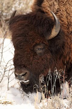 """""""Big Noggin' by Jeff Dyck. Bison Pictures, Buffalo Pictures, Animal Pictures, Buffalo Animal, Buffalo Art, Beautiful Creatures, Animals Beautiful, Buffalo Painting, Animals And Pets"""