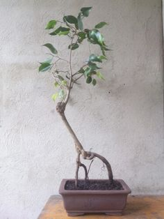 Bonsai ficus benjamina  Venta y mantenimiento Giovanny mendoza Movil:(57)3125874074 Email:majesticflowers.sas@gmail.com Warm Outfits, Ficus, Mendoza, Best Cities, Things To Do, Plants, Hot Clothes, Things To Make, Hot Outfits