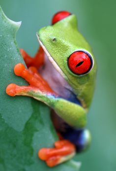 Google Image Result for http://grizzlyrun.com/Files/Images/Image_Gallery/red_eyed%2520tree%2520frog_Small.jpg