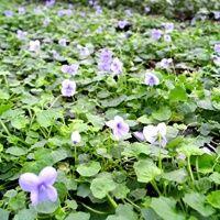 Viola hederacea: klimopviooltje: (half)schaduw, bloeit jaar rond