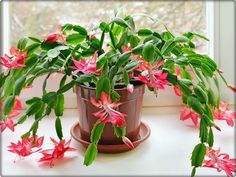 When and How to Repot a Christmas Cactus - Cactus and Succulents