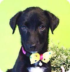 Castro Valley, CA - Labrador Retriever Mix. Meet Laina, a puppy for adoption. http://www.adoptapet.com/pet/11795727-castro-valley-california-labrador-retriever-mix