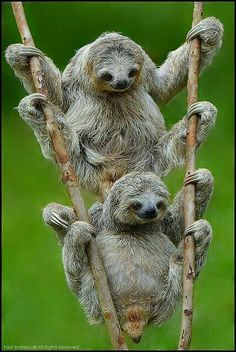 Animal Photography : Three-toed Sloths by Bratescu Cute Baby Sloths, Cute Baby Animals, Funny Animals, Baby Otters, Nature Animals, Animals And Pets, Easy Animals, Wild Animals, Three Toed Sloth