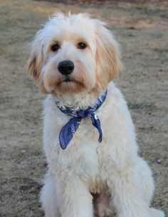 In this article, we will be discussing Goldendoodle grooming. We will outline the most important steps on how to groom a Goldendoodle, and we will even touch a little bit on Goldendoodle grooming styles. English Goldendoodle, Goldendoodle Haircuts, Goldendoodle Grooming, Dog Haircuts, Dog Grooming Tips, Standard Goldendoodle, Labrador Retriever, Golden Retriever, Poodle