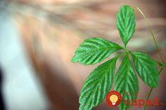 Volajú ju bylina nesmrteľnosti či elixír života: Najliečivejšia rastlina na svete, máte ju doma aj vy? Plant Leaves, Plants, Plant, Planets